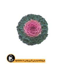 بذر کلم زینتی Song Bird pink تاکی بسته ۱۰۰۰ تایی