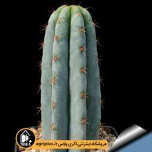 بذر Trichocereus Macrogynus Var. Pachanoiبسته۱۰۰۰۰