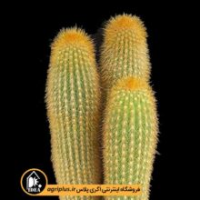بذر Weberbauerocereus Johnsonii بسته ۱۰۰۰۰ تایی