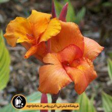 پیاز گل اختر ایرانی مخلوط