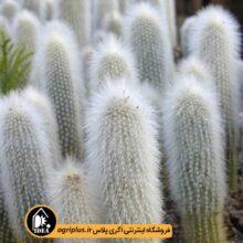 بذر Cleistorcactus Straussii بسته ۱۰۰۰۰تایی
