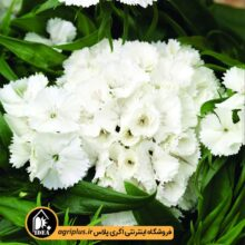 بذر قرنفل Barbarini White سینجنتا بسته ۱۰۰۰ تایی