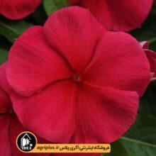 بذر پریوش آویز Mediterranean Red پن امریکن۱۰۰۰تایی