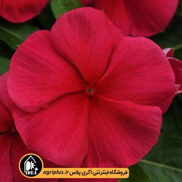 بذر_پریوش_آویز_پن_امریکن_Mediterranean-Red