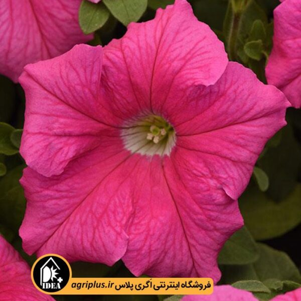 بذر_اطلسی_پن_امریکن-Supercascade-Pink