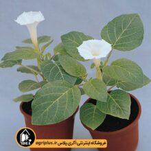 بذر گل حسرت تاتوره Belle Blanche مولر ۵۰۰ تایی