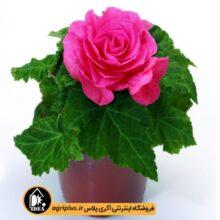 بذر بگونیا New Star Rose مولر بسته ۱۰۰۰ تایی