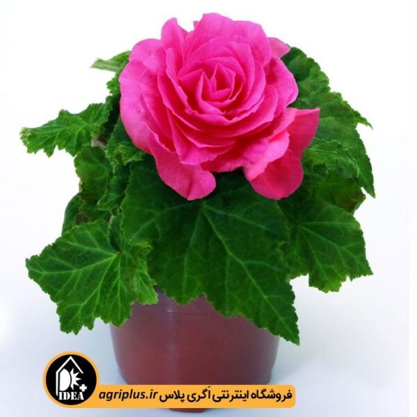 بذر_بگونیا_مولر_NEW_STAR_-ROSE