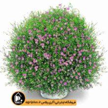 بذر صدفی Gypsy Pink مولر بسته ۱۰۰۰ تایی