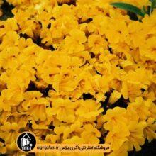 بذر میمولوس Magic Yellow مولر بسته ۱۰۰۰ تایی
