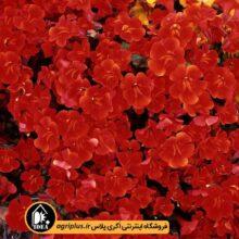 بذر میمولوس Magic Red مولر بسته ۱۰۰۰ تایی