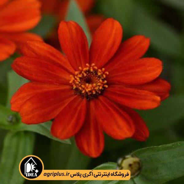 بذر_آهار_مولر_ZAHARA-_SINGLE_RED