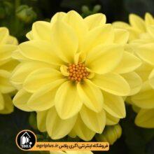 بذر کوکب بذریFigaro Yellow Shade پن امریکن۱۰۰۰تایی