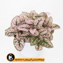 بذر گلسنگ Confetti Compact Pink ساکاتا 1000 تایی