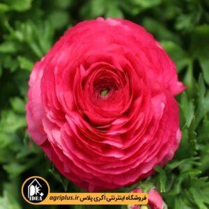 بذر آنمون Bloomingdale Rose ساکاتا