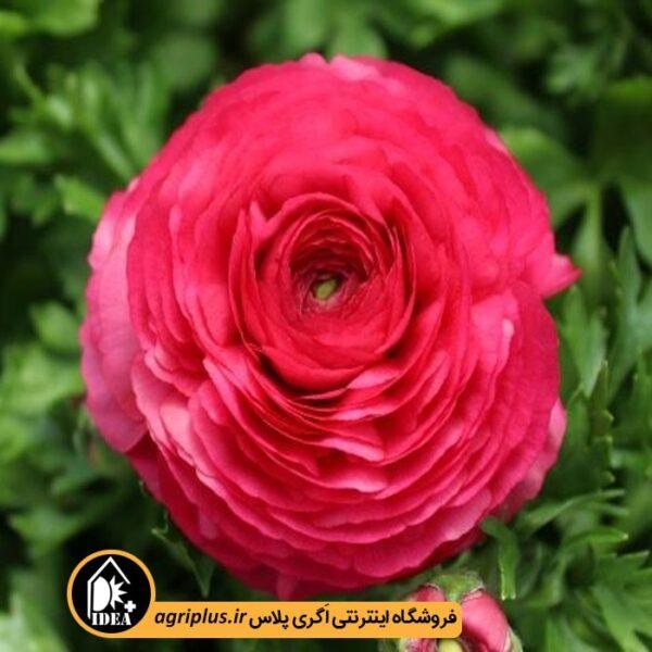 بذر_آنمون_ساکاتا__BLOOMINGDALE-rose