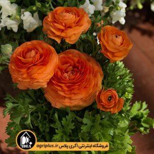 بذر آنمون Bloomingdale Orange ساکاتا