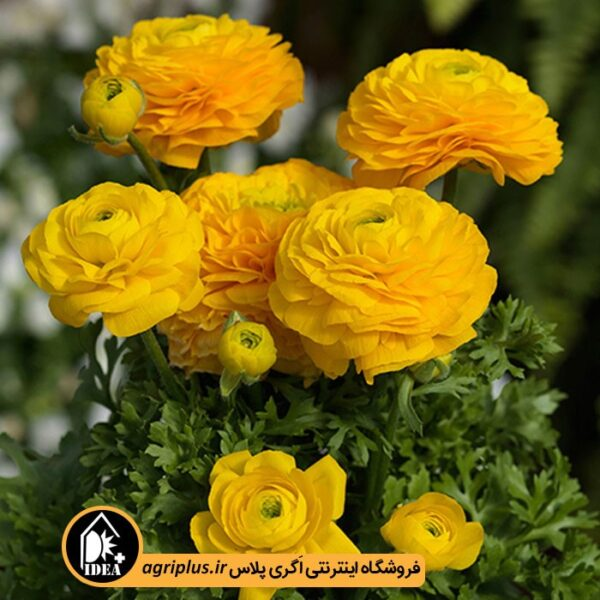 بذر_آنمون_ساکاتا_BLOOMINGDALE-Golden_yellow