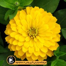 بذر گل آهار زرد پا کوتاه F2