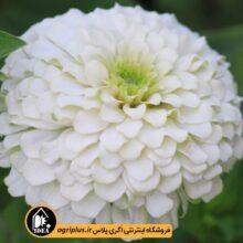 بذر گل آهار سفید پا کوتاه F2