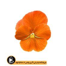 بذر بنفشه پرتقالی مرغوب OP