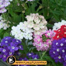 بذر شاهپسند همزادن F2 Ideal Florist Mix