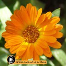 بذر همیشه بهار نارنجی OP
