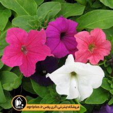 بذر گل اطلسی ایرانی بسته بندی خانگی
