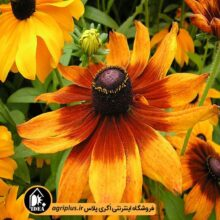 بذر گل کوکب کوهی بسته بندی خانگی