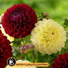 بذر گل کوکب بذری بسته بندی خانگی