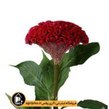 بذر گل تاج خروس بسته بندی خانگی