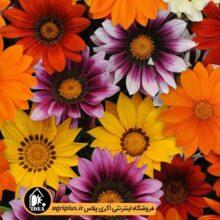 بذر گل گازانیا بسته بندی خانگی