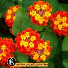 بذر گل شاهپسند بسته بندی خانگی