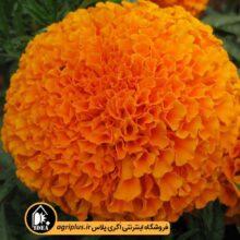 بذر گل جعفری پرتقالی بسته بندی خانگی