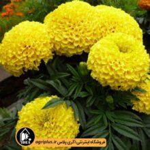 بذر گل جعفری زرد بسته بندی خانگی