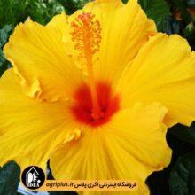 بذر گل ختمی هلندی بسته بندی خانگی