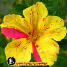 بذر گل لاله عباسی بسته بندی خانگی