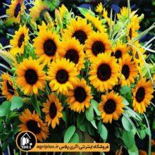 بذر گل آفتابگردان زینتی بسته بندی خانگی
