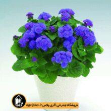 بذر گل ابری آبی بسته بندی خانگی