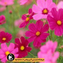 بذر گل شاه اشرفی بسته بندی خانگی