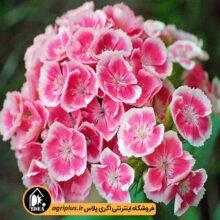 بذر گل قرنفل بسته بندی خانگی