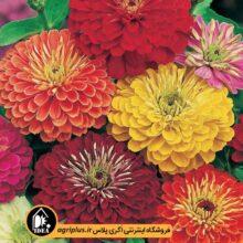 بذر گل آهار بسته بندی خانگی کارتن ۲۵ عددی