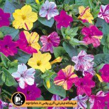 بذر گل لاله عباسی بسته بندی خانگی کارتن ۲۵ عددی