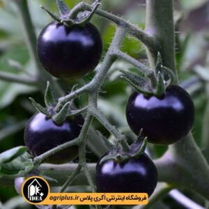 بذر گوجه چری مشکی PAPRIKA