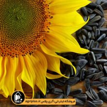 بذر گل آفتابگردان خوراکی بسته بندی خانگی