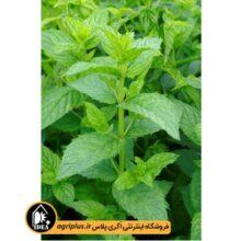 بذر نعنا گلدانی Mentha Spicata Crispa مولر ۵ گرمی