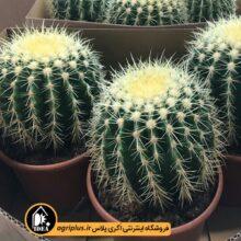 بذر Echinocactus Grusonii بسته ۵۰۰۰ تایی