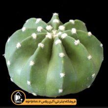 بذر Echinopsis Subdenudata بسته ۵۰۰۰ تایی