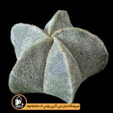 بذر Astrophytum Myriostigma بسته ۱۰۰۰تایی