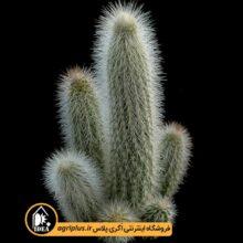 بذر Cleistocactus Senilis بسته ۵۰۰۰ تایی
